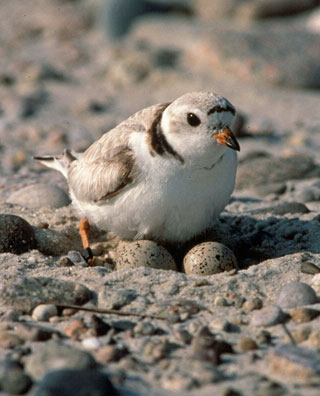 Piping Plover guarding its eggs