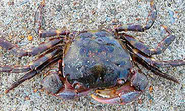 Asian shore crab (Hemigrapsus sanguineus).