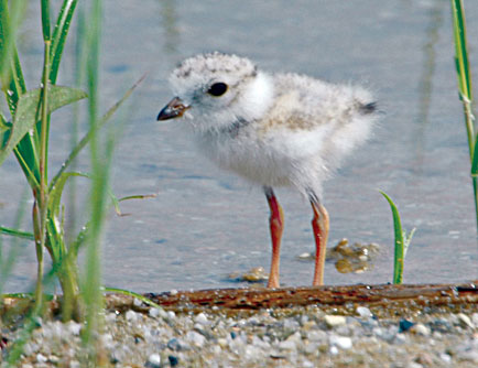 Young Piping plover
