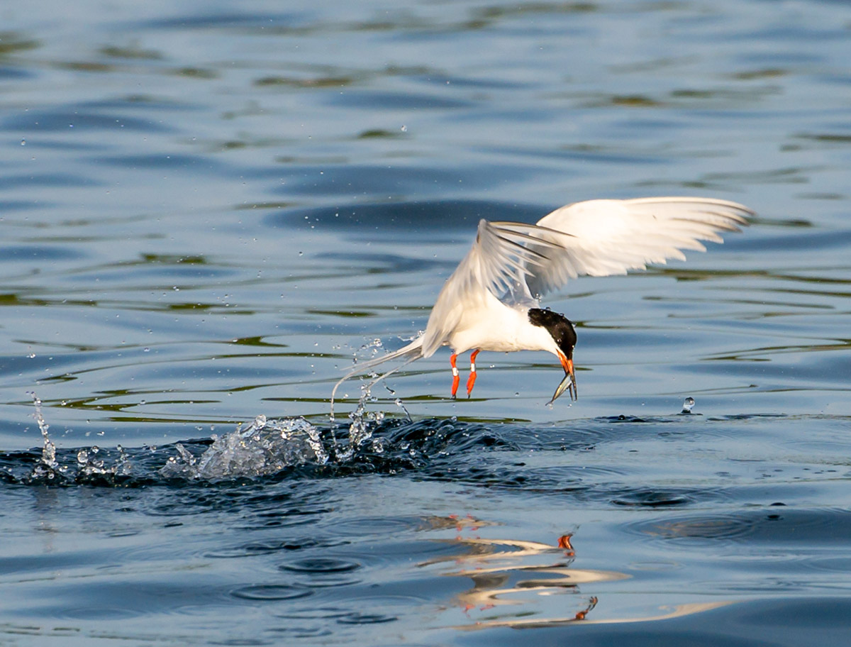 Double-banded least tern catching minnow by Todd McCormack