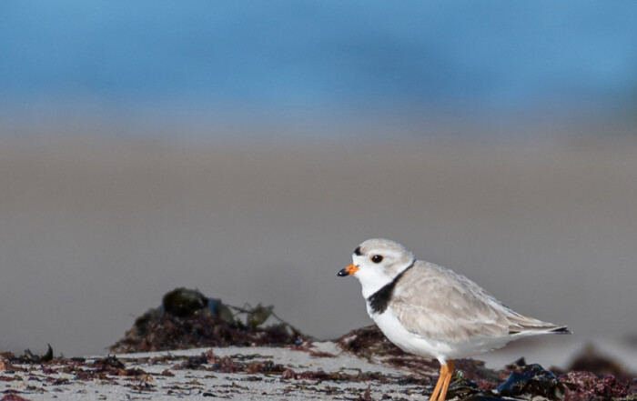 Piping plover on west end beach by Todd McCormack