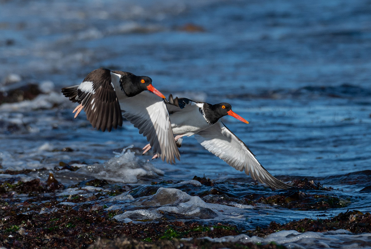 Two oyster catchers flying in formation by Todd McCormack