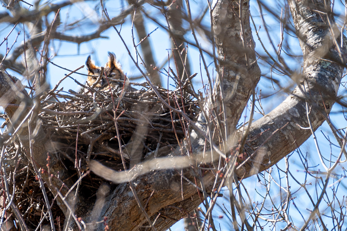 Great horned owl mother on nest by Todd McCormack