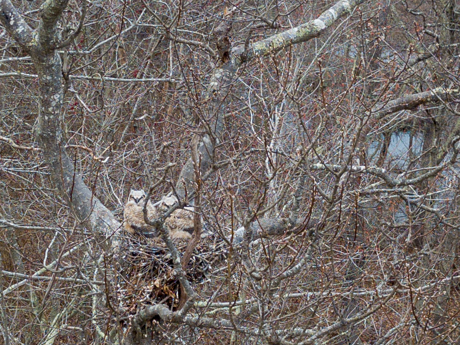 Two great horned owl young on nest by Todd McCormack