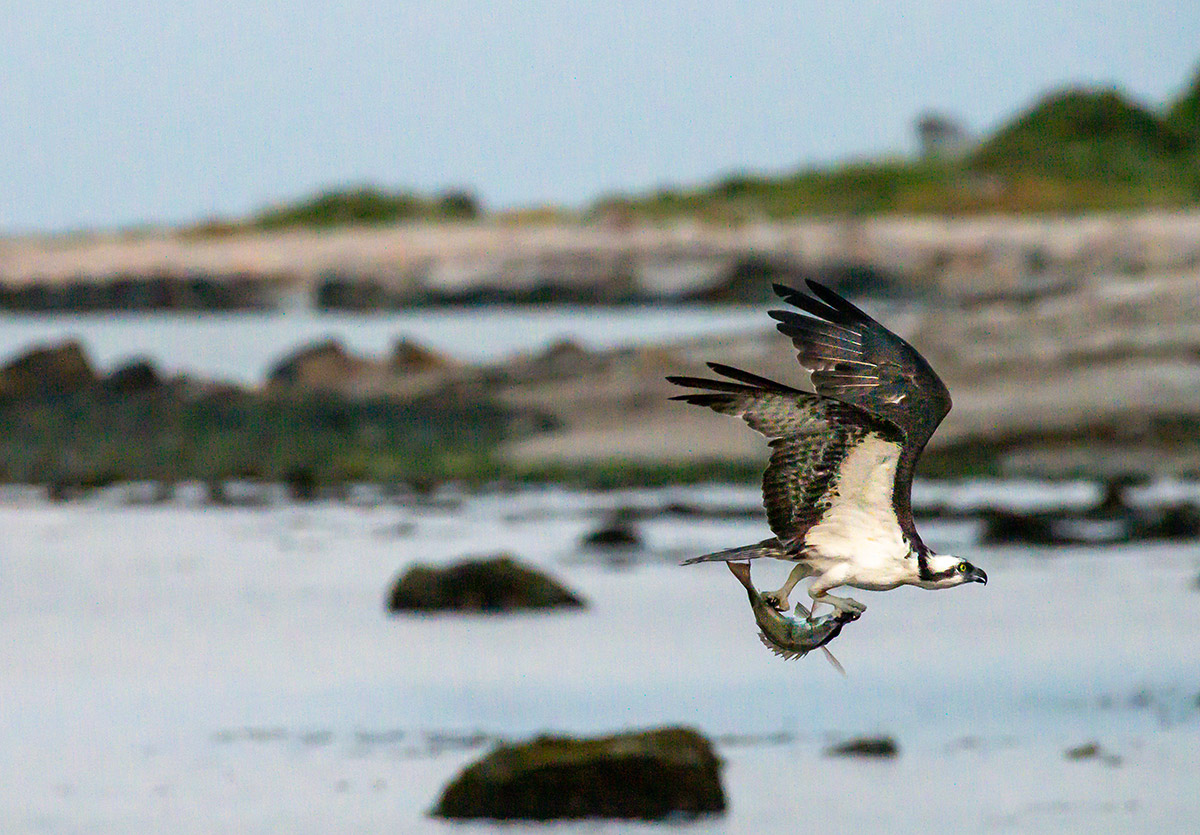 Osprey in flight with firmly clasped fish by Todd McCormack