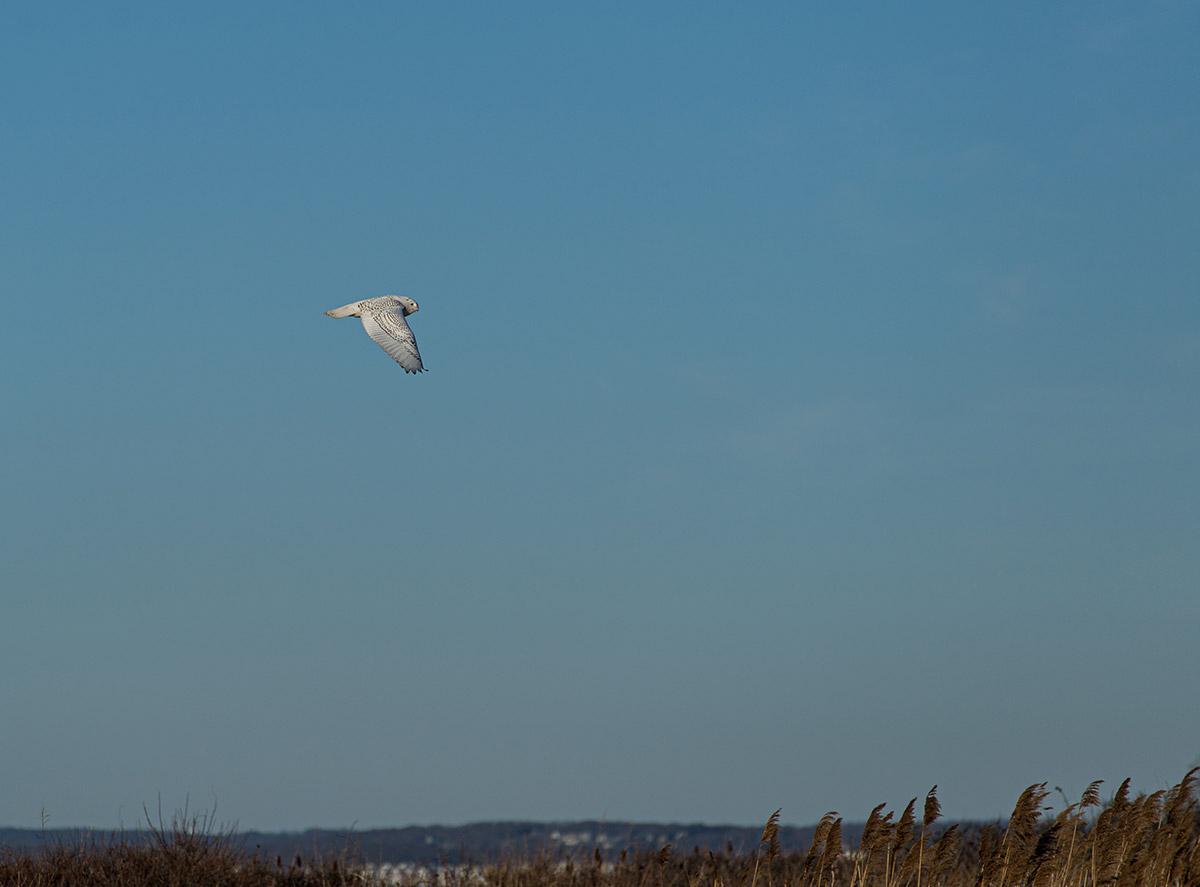 Snowy owl in flight by Todd McCormack
