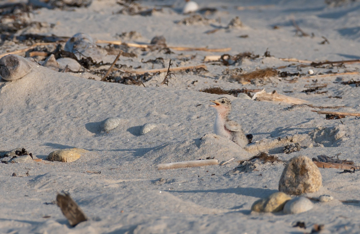 Least tern chick by Todd McCormack