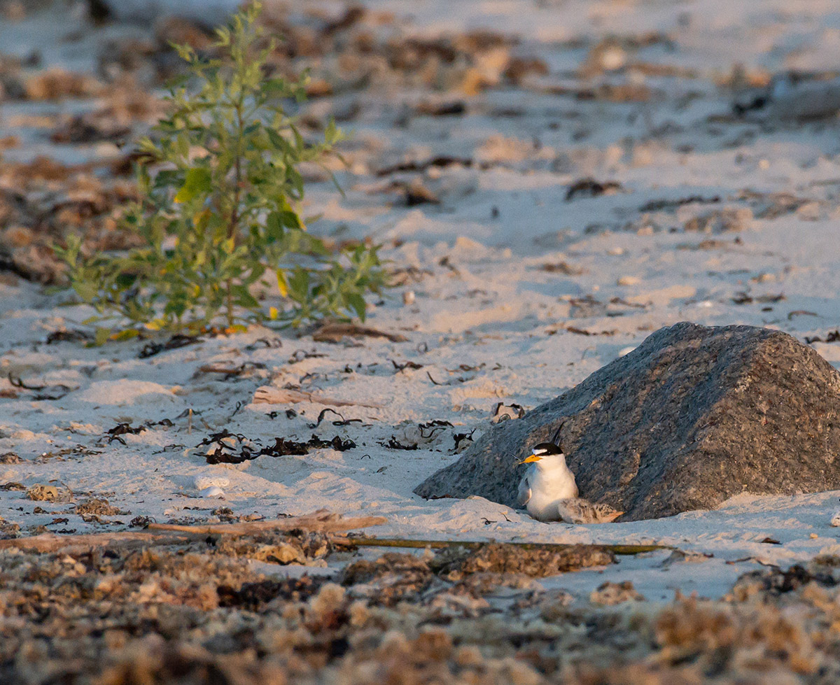 Least tern mother and chick by Todd McCormack
