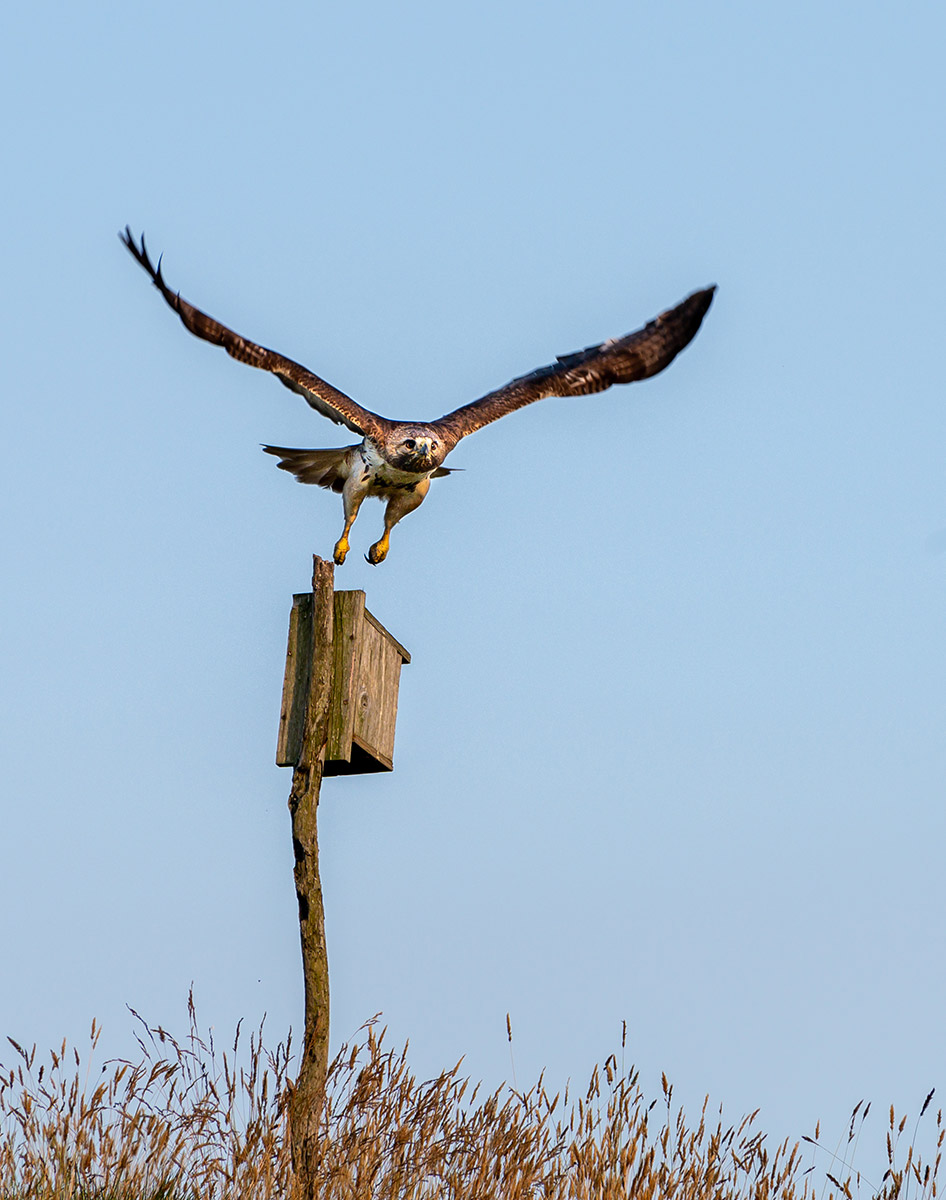 Red-tailed hawk taking off by Todd-McCormack
