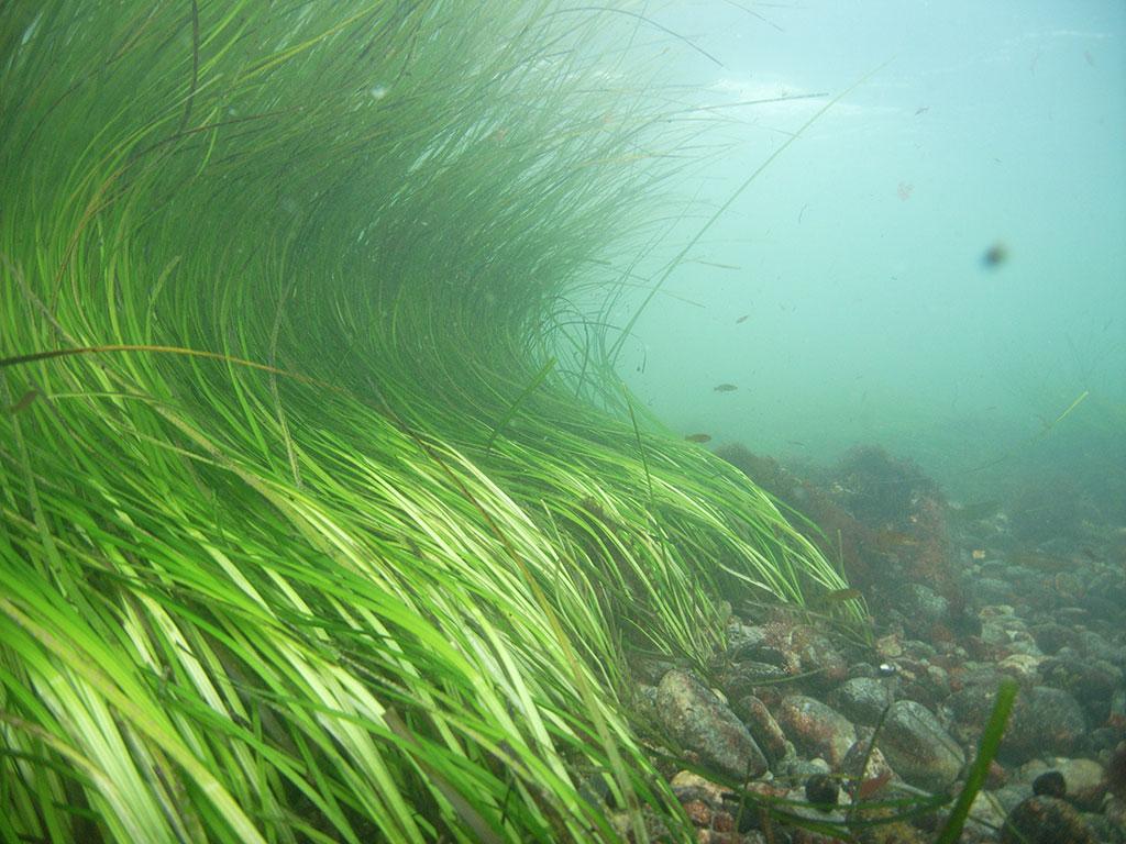 Barley Field Cove Eelgrass