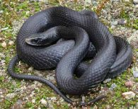 Northern Black Racer adult