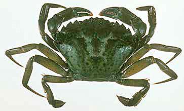 Green crab (Carcinus maenas).