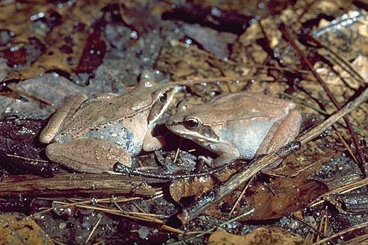 Wood frogs (Rana sylvatica)