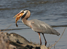 Fresh Catch for a Great Blue Heron