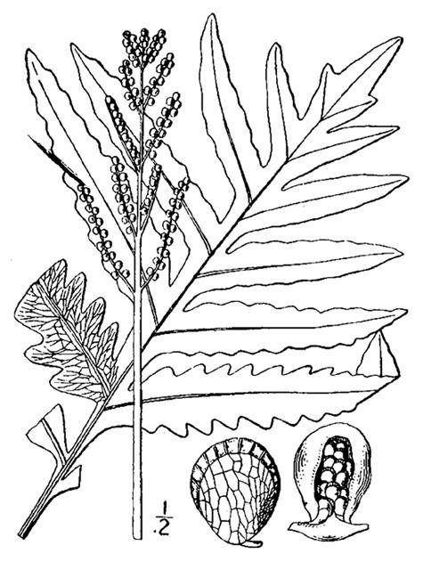 Sensitive fern (Onoclea sensibilis). Courtesy of USDA.