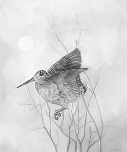 Woodcock in Courtship Flight