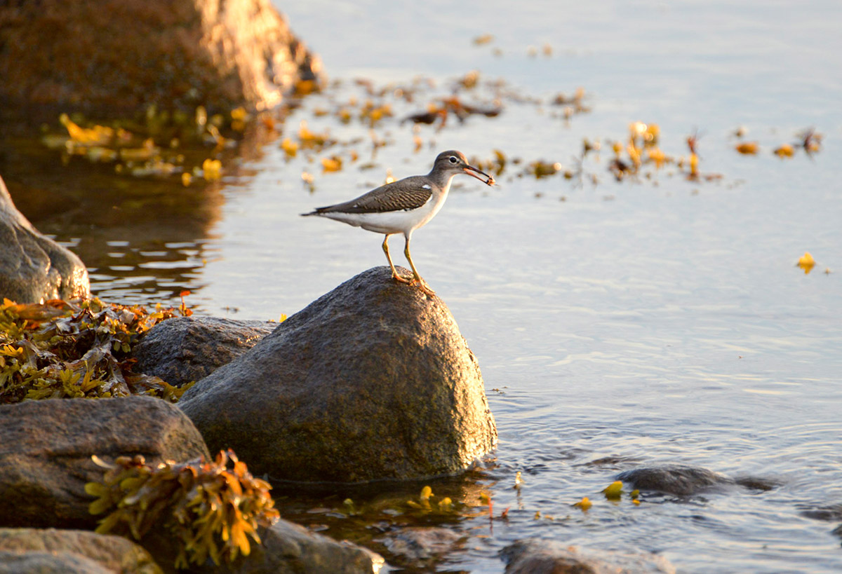 Spotted sandpiper with small crab by Todd McCormack