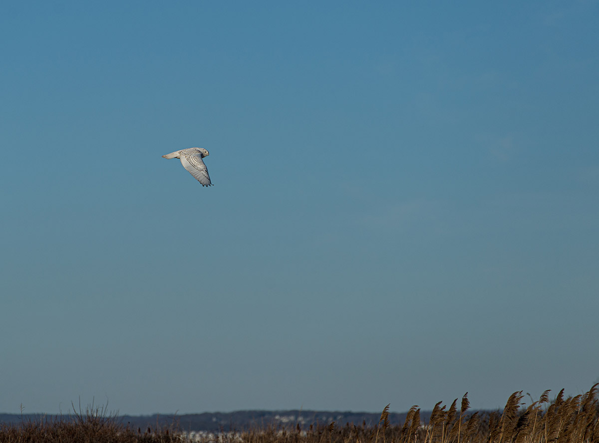 Snowy owl in flight by Todd McCormack